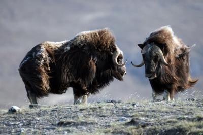 large herbivores tundra biodiversity