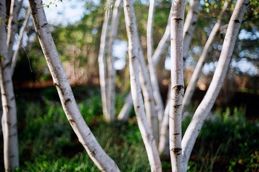 birches decrease tundra carbon store