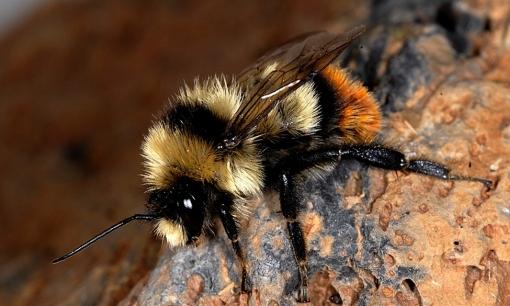 Bombus cullumanus - a critically endangered European bumblebee