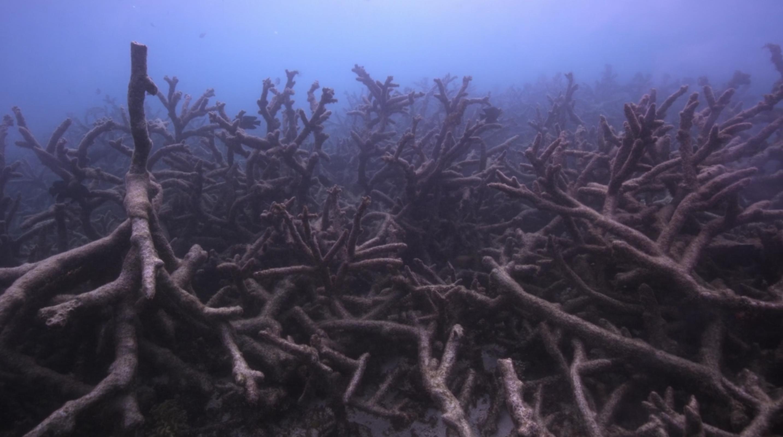 Dead elkhorn coral reef, Florida Keys - Chasing Coral