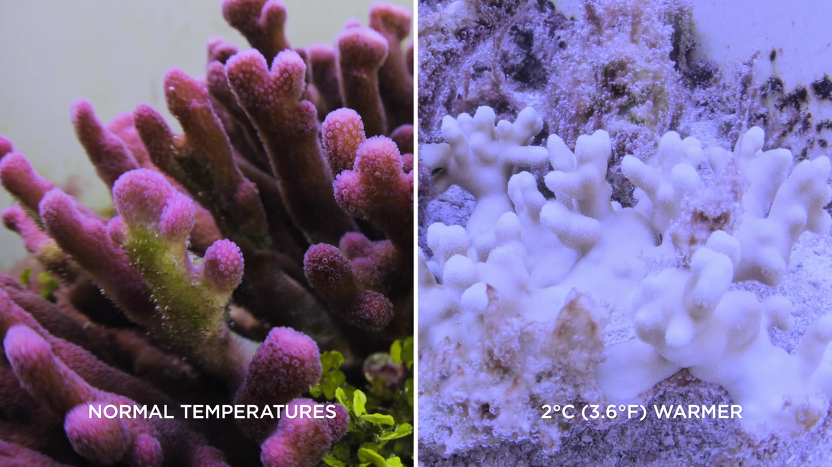Coral bleaching temperature rise. Healthy coral left, bleached coral right. Image: Chasing Coral
