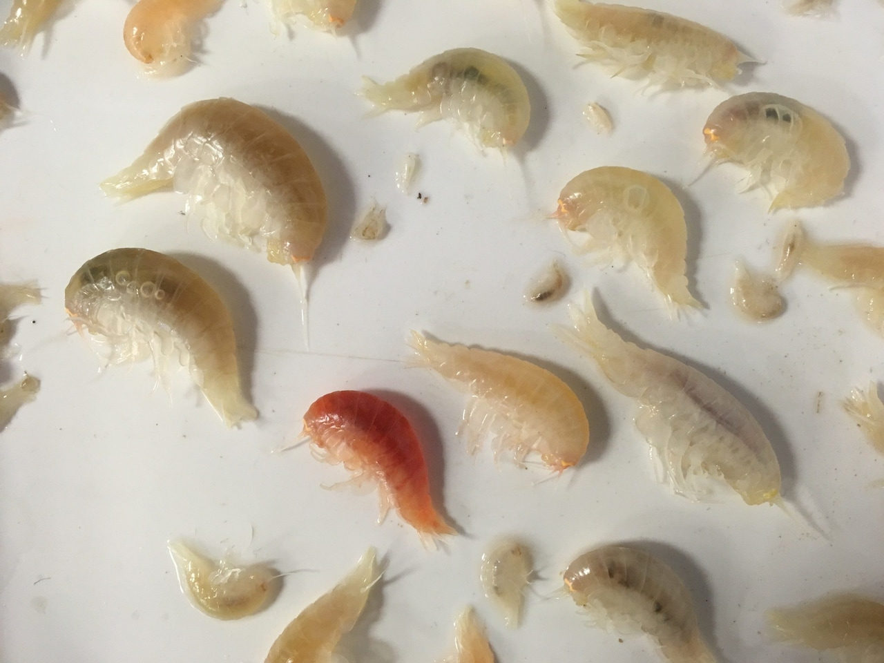 Amphipods from Mariana Trench - deep ocean plastic