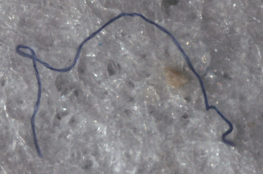 Deep-ocean plastic fibre, from stomach of amphipod crustacean at bottom of Mariana Trench