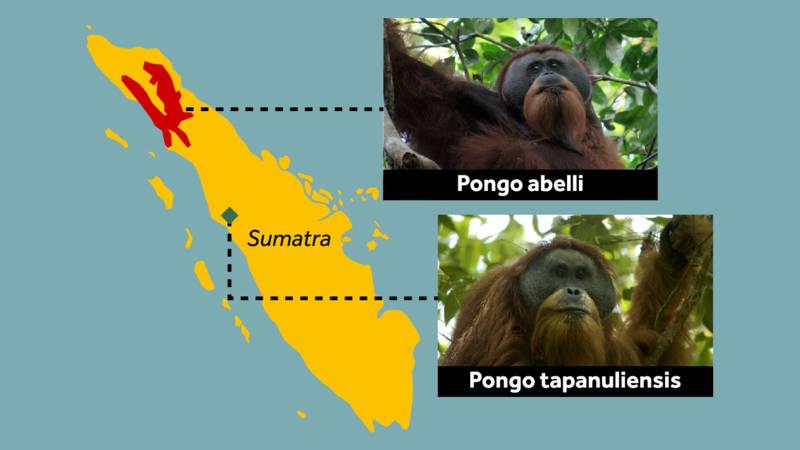 Pongo tapanuliensis orangutan species