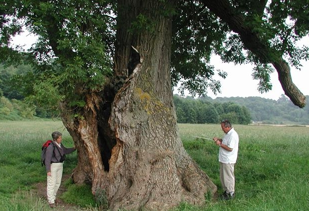 Beautiful mature ash tree in British landscape - Woodland Trust