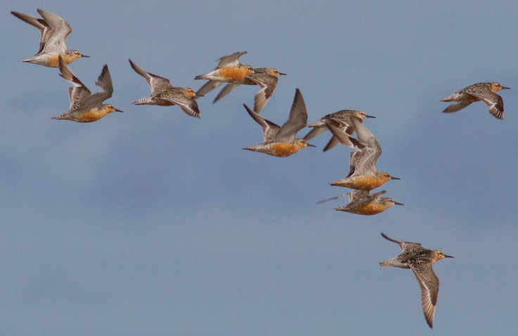 Red knots over the Dutch Wadden Sea - Kasper Hendriks