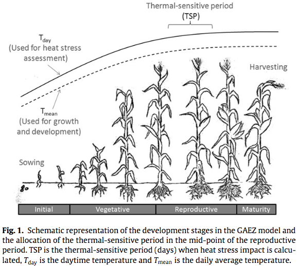 Heat stress from climate change depends on thermal sensitive period for a crop
