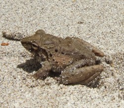 Toad on beach