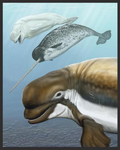 Beluga whale, narwhal and Pliocene relative
