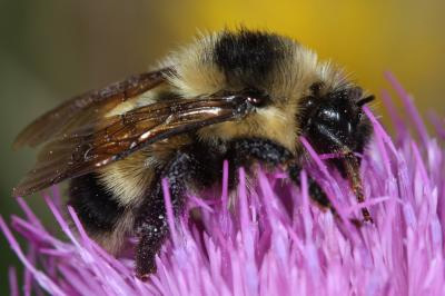 Cockerell's Bumblebee not extinct