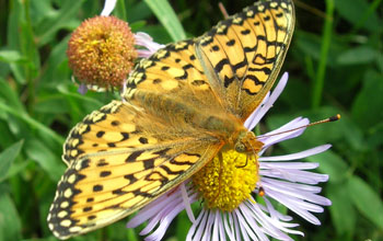 Mormon Fritillary butterfly on aspen daisy spring flower