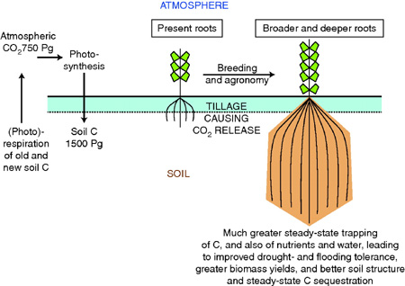 Crop CDR geoengineering: longer roots store more carbon in soils