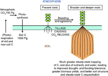 Crop CDR geoengineering: longer roots store more carbon in soils