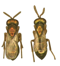 wasp gene biodiversity