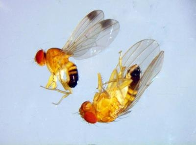 invasive drosophila fruit fly