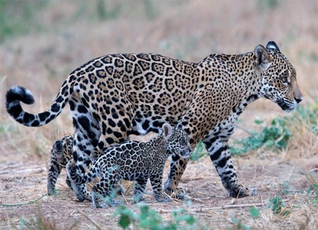 Jaguar mother with cubs - Bolivia