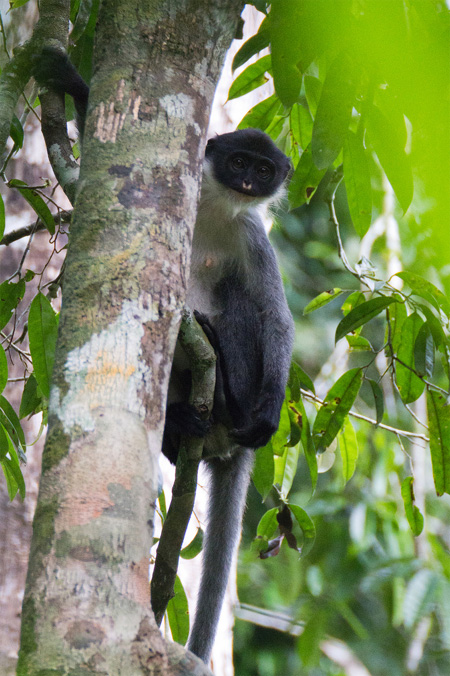 Miller's grizzled langur - rare monkey Borneo rainforest