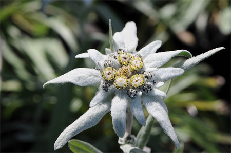 Climate change European mountain vegetation - Edelweiss