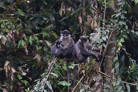 rare monkeys Borneo rainforest - grizzled langur