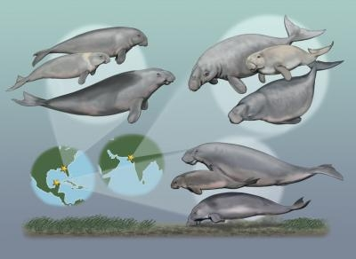 seacow species seagrass