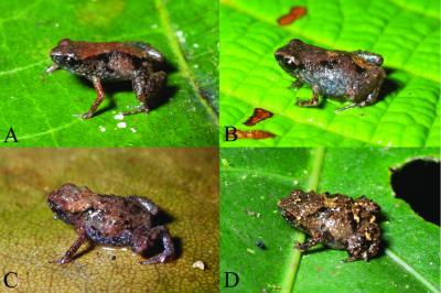 world's smallest frogs