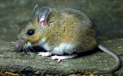 ticks Lyme disease mouse